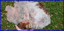 Araucaria Conifer Holbrook Arizona Rainbow Petrified wood u. V. Reactive