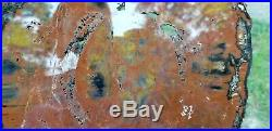 Arizona petrified Wood Araucaria conifer Polished