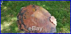 Arizona petrified Wood Araucaria conifer Polished U. V. Reactive