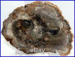Large 16.5 6+ lb Polished Petrified Wood Slice Slab Madagascar WithStand C1023