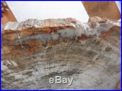 Large Monkey Puzzle Wood Slice (34.5 cm) Madagascar Triassic