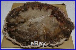 Large Polished Petrified Wood Full Round Slab with Bark 13 x 11 x 3/4 Thick