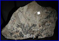 Museum quality pre dinosaur fossil plant climber vine liana like coal age fern