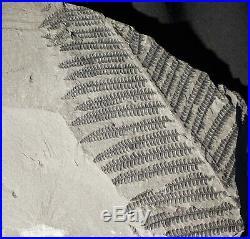 Museum quality pre dinosaur fossil plant tree fern coal Pteridophyte Pecopteris