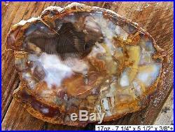 Oregon Grassy Mountain Agatized Petrified Wood 99% Full Round Slab Gorgeous