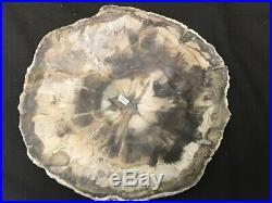 Outstanding (7 5/8) Fluorescent Araucaria Petrified Wood, Madagascar