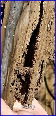 Petrified Live Oak Board Cut Texas Fossil Polished Home Decor