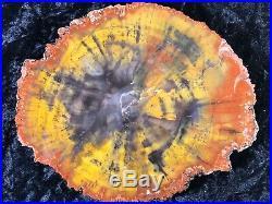 Petrified Wood Araucaria Conifer Holbrook, AZ Chinle Fm. Triassic 8.5x7