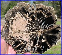 Petrified wood Big Sandy Wyoming slab