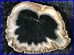 Polished Petrified Wood Tropical Apocenacea Lufkin, Texas Eocene 7.5x6