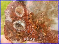 Polyporite Fungus Petrified Wood Arizona St Johns U. V. Reactive