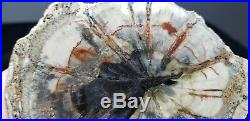 Rare Hermanophyton taylorii Seed Fern Colorado