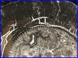 Rare Petrified Wood Calamites (Arborescent Horsetail) Carboniferous 7.75x5