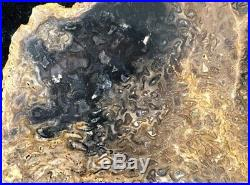 Rare Petrified Wood Psaronius Tree Fern, Athens County, Ohio Carboniferous 9.75