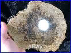 Rare Petrified Wood Psaronius Tree Fern, Athens County Ohio Carboniferous 9.75