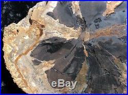 Rare Petrified Wood Seed Fern Hermanophyton glismanii E. McElmo Creek, Jurassic