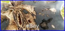 Rare live oak Montgomery county Texas Pleistocene Epoch Fossil Petrified wood