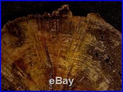 Rw Rare/choice Petrified Wood Round Deschutes Oak At It's Best