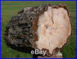 SiS 11 lb. BURMESE Petrified Palm Wood Log Fossil Palmoxylon from Myanmar