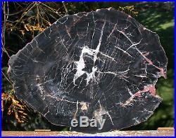 SiS 13+ Chinle BLACK FOREST Petrified Wood Round Arizona Pullisilvaxylon