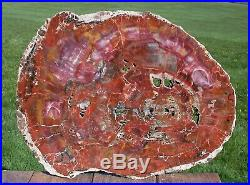 SiS BIG BRILLIANT RAINBOW 18+ Arizona Petrified Wood Conifer Round -TABLE TOP