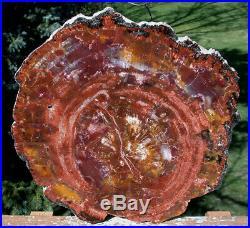 SiS DARK BEAUTIFUL & PERFECT 13+ Arizona RAINBOW Petrified Wood Conifer Round