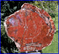 SiS GLOWING 8+ RED & BLUE Arizona RAINBOW Petrified Wood Conifer Round