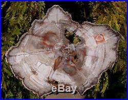 SiS MY BEST 11 BURMESE Petrified Wood Round from MYANMAR FOSSIL BASRALOCUS