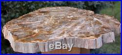 SiS Rhexoxylon africanum EXTREMELY RARE 11 Madagascar Petrified Wood Round